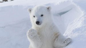 cute-polar-bear-waving-00